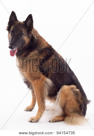 Tervuren Bitch Sitting, White Studio Background