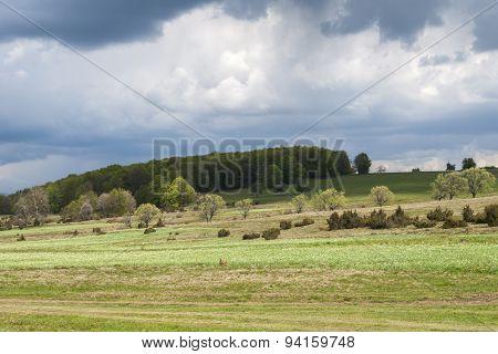 Daffodils glade - Harghita, Transylvania (1)