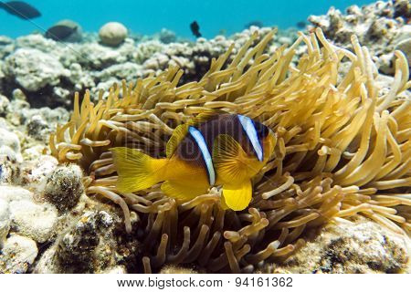 Anemone fish (Amphiprion bicinctus) ) in the background with anemone.Coral reef