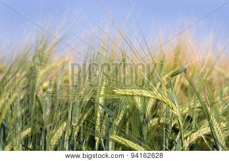 Barley Field In Springtime