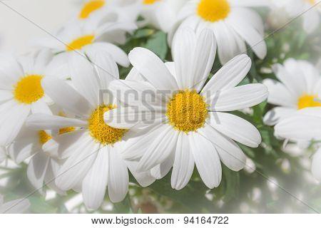 daisies - daisy flowers spring blossom
