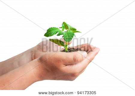 Green Sprout In The Hands