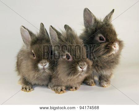 Gray  rabbits