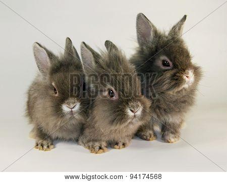 Gray  rabbits