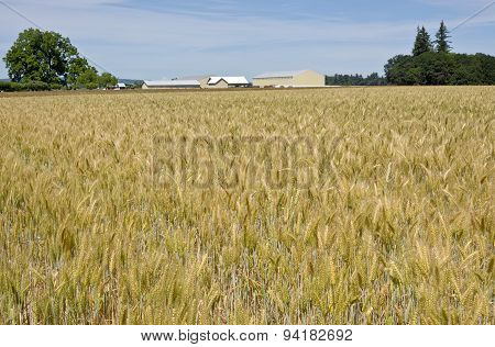 Wheat Field In The Willamette Valley.