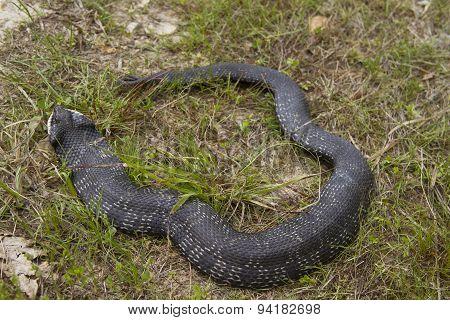 Hognose Snake In The Grass