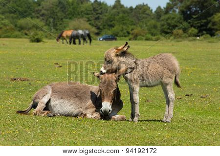 Mother and baby donkey showing love and affection in the New Forest Hampshire England UK