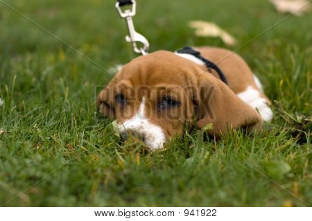 Basset Hound Laying In The Grass