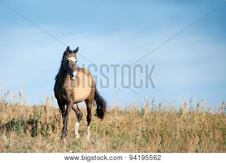 Free Horse In Dry Summer Field