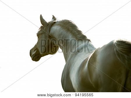 Black Arabian Horse Portrait Isolated On White