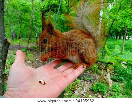 red squirrel sitting on a hand