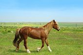 stock photo of brown horse  - Beautiful brown horse grazing on meadow - JPG