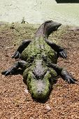 picture of alligators  - Detail view of an alligator lying ashore - JPG
