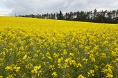 image of rape  - Yellow oilseed rape field under the blue sky with sun - JPG