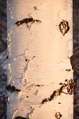 stock photo of birching  - Birch trunk close - JPG