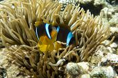 stock photo of damselfish  - Anemone fish (Amphiprion bicinctus) ) in the soundback with anemone.Coral reef Red Sea Egypt ** Note: Soft Focus at 100%, best at smaller sizes - JPG