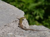 foto of lizards  - A colorful lizard - JPG