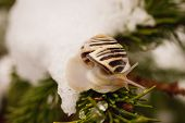 pic of snail-shell  - Snail with brown shell on branch close and the last snow in may - JPG