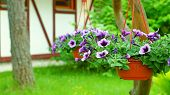 picture of petunia  - Hanging baskets with the  violet petunia flowers in a garden
