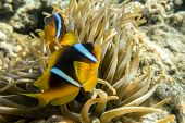 foto of damselfish  - Anemone fish (Amphiprion bicinctus) ) in the background with anemone.Coral reef Red Sea Egypt ** Note: Soft Focus at 100%, best at smaller sizes - JPG