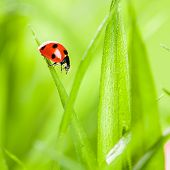 picture of ladybug  - Ladybug running along on blade of  green grass - JPG