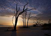 pic of jekyll  - Old dead oak trees still stand on the beach of Jekyll Island - JPG