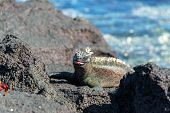 stock photo of tongue  - Marine Iguana with its tongue out on Fernandina Island on the Galapagos Islands in Ecuador - JPG