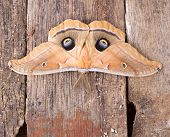 stock photo of moth  - Polyphemus moth Antheraea polypmemus on a wood background - JPG