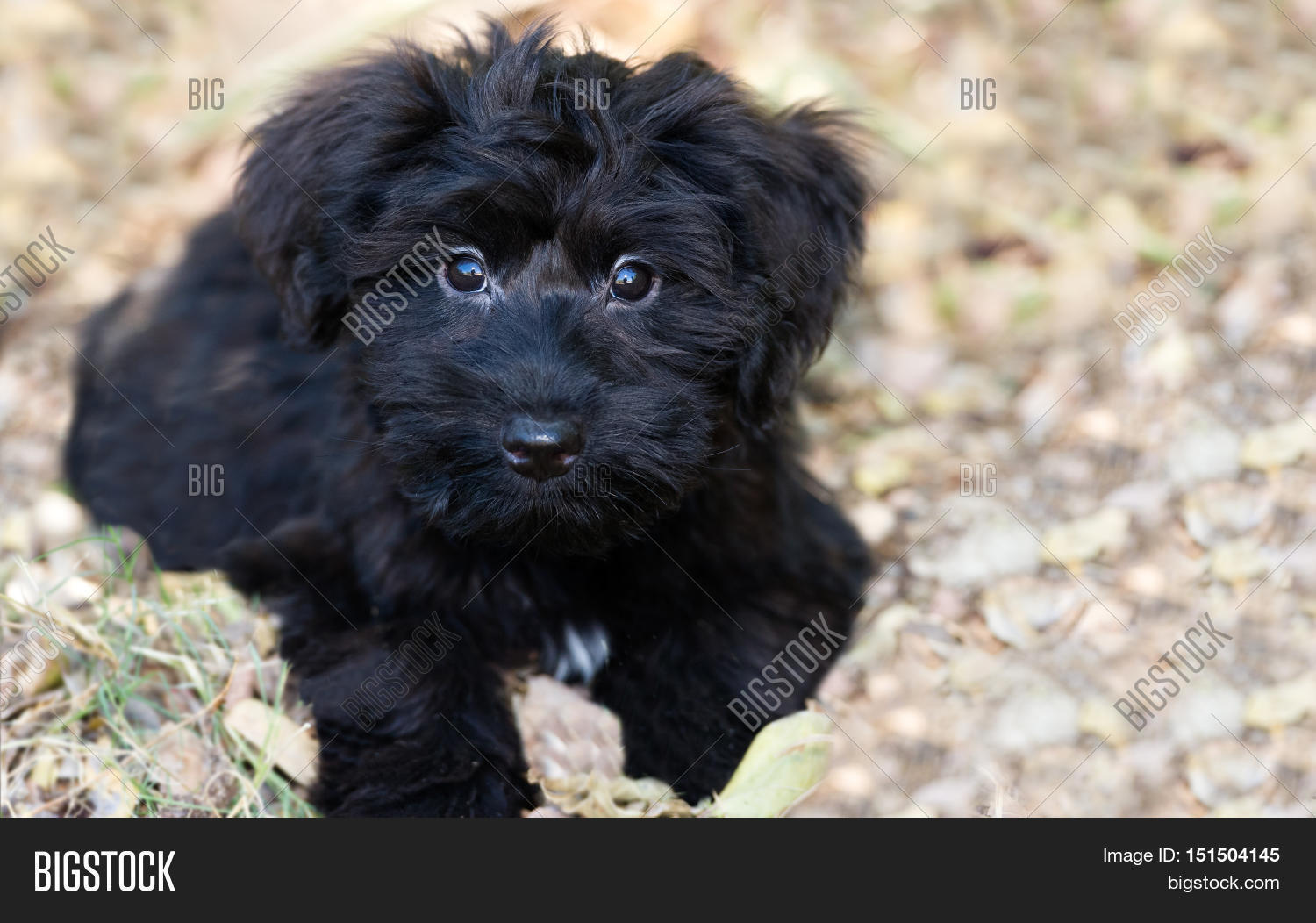 puppy dog cute is an adorable fluffy black puppy dog