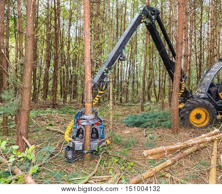 Machine sawing pine trees in autumn forest
