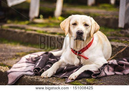 Labrador dog's head on unfocused background closeup