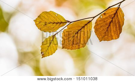 Panorama Of  Brown Autumn Leaves Of Beech