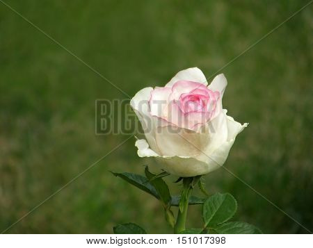 Rose Flower. Very beautiful image.