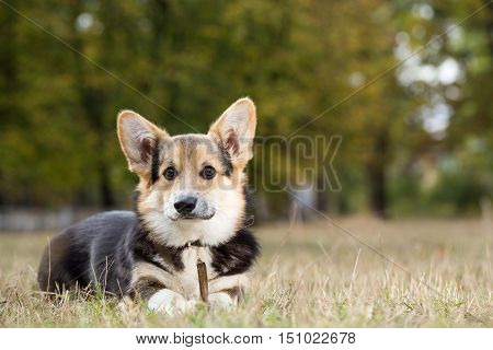 Welsh Corgi lying down with a stick. Dog playing in autumn park. The photo was taken in the morning near the forest.