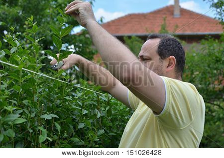 Cutting Hedge With Scissors