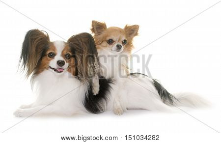 papillon dog and chihuahua in front of white background