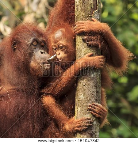 Baby and mother orangutans