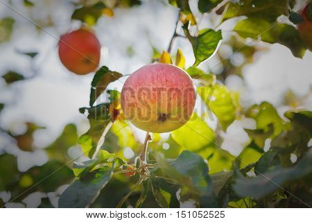Red ripe apple on branch of tree. Closeup of fresh organic apples with green leaves. Sunny autumn garden in village. Growing seasonal fruits, harvest at farm, agricultural concept. Backlight
