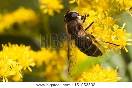a hover fly pollinating a yellow flower