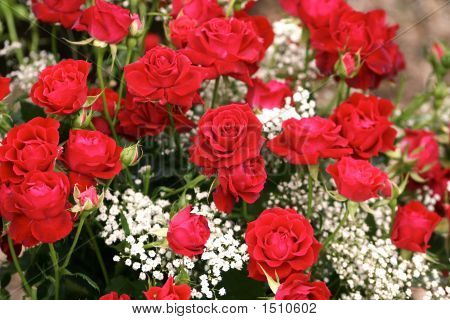 Many Red Roses