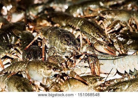 Alive crayfish isolated on white background live crayfish closeup fresh crayfish. Beer snacks river crayfish.