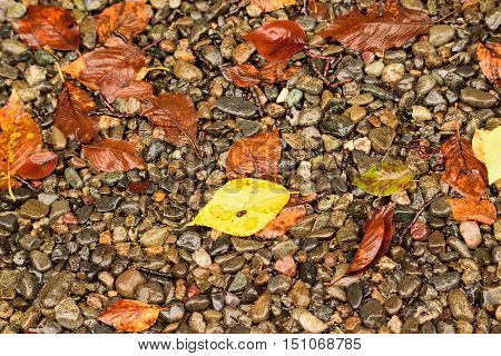 Wet fallen colorful autumn leaves on stone background