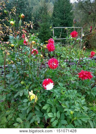 against the background of pine forest garden green with bright high dahlias