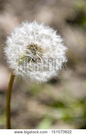 Dandelion seed head or puff ball Yorkshire UK