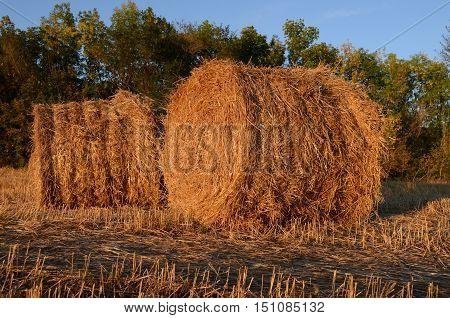 two round haystacks lying in the fieldthe field of the cleaned wheat