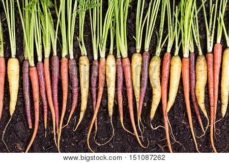 Fresh Clean Wet Assortment Of Organic Carrots