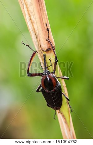 Wild Snout Beetle eating on the plant