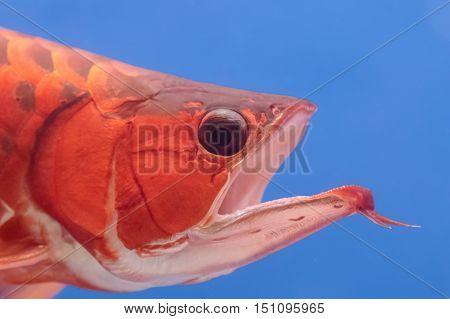 Closeup asian arowana red fish dragon fish