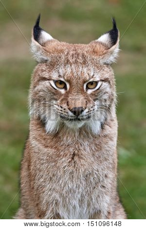 Closeup portrait of the Eurasian lynx with vegetaion in the background