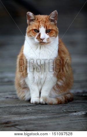Orange cat sitting on an old wood floor.